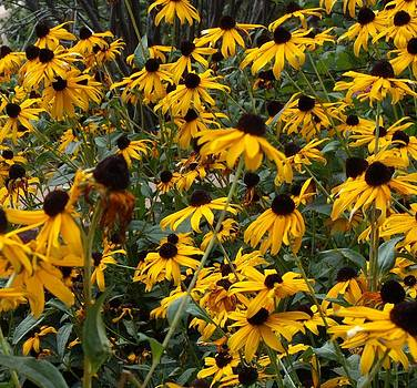Black-eyed Susans by Donna Parlow