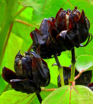Black Flower by Maria Scarfone