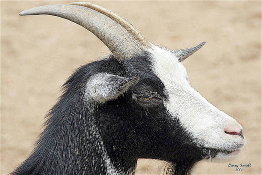 Black Goat by Larry Small