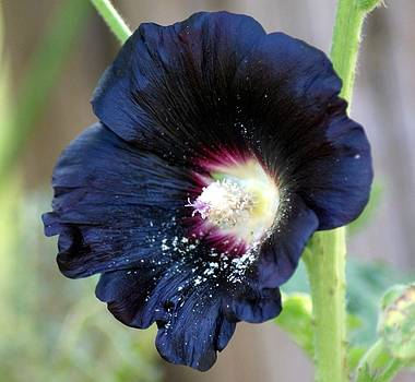 Black Hollyhock by Jeff Murphy