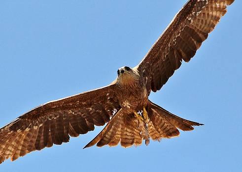 Black Kite in flight by Sandeep Gangadharan