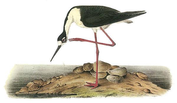 John James Audubon - Black-necked Stilt