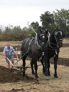 Peggy  McDonald - Black Percherons at Work