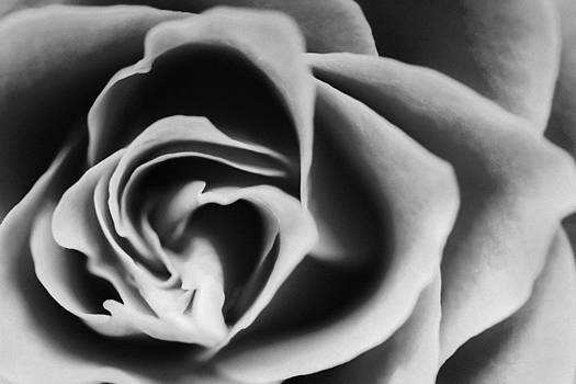 Black rose by Daniel Kulinski
