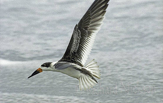 Black Skimmer by Richard Nickson