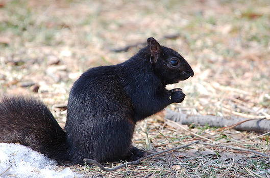 Black Squirrel of Central Park by Sarah McKoy