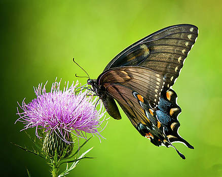 Black Swallowtail and Thistle by Michael Putnam
