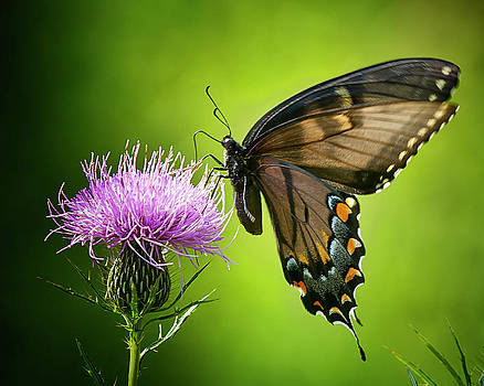 Black Swallowtail and Thistle No. Two by Michael Putnam