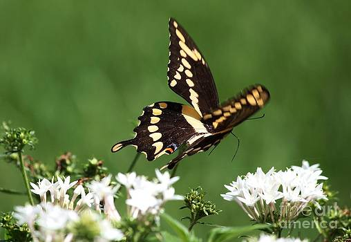 Black Swallowtail in Flight by Theresa Willingham