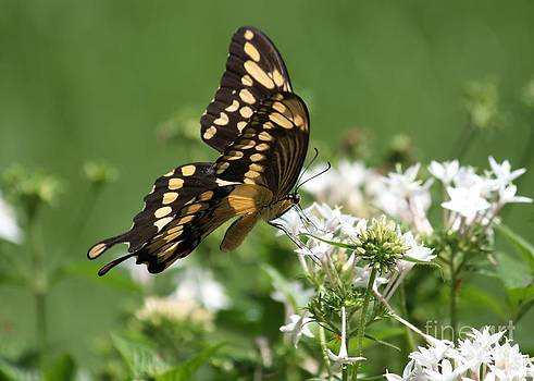 Black Swallowtail by Theresa Willingham