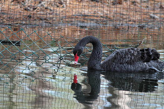 Black Swan by Glenn Lawrence