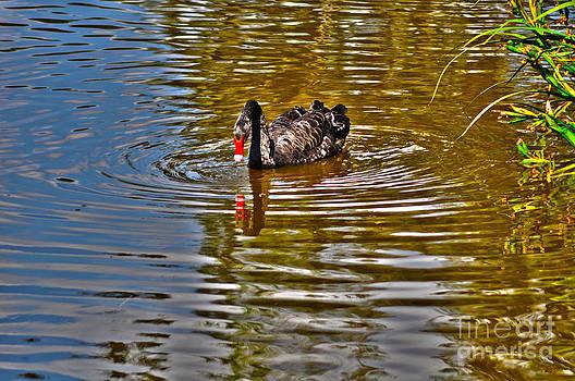 Black swan on pond by Joanne Kocwin
