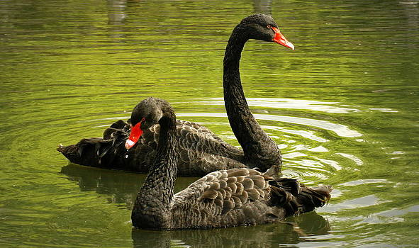 Black Swans by Jacqui Collett