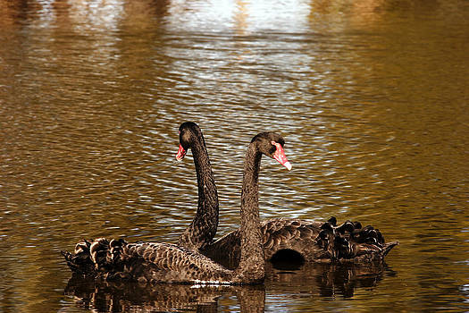 Noel Elliot - Black Swans On A Golden Pond