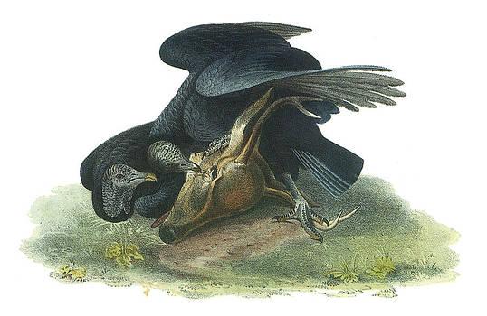 John James Audubon - Black Vulture