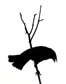 Amalia Jonas - Blackbird in backlight