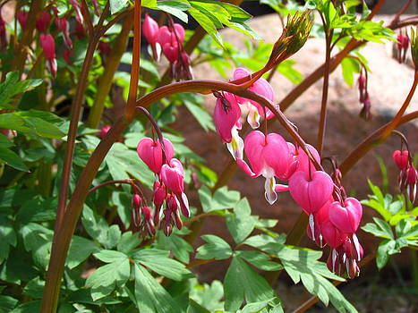 Bleeding Heart by Christine Hafeman
