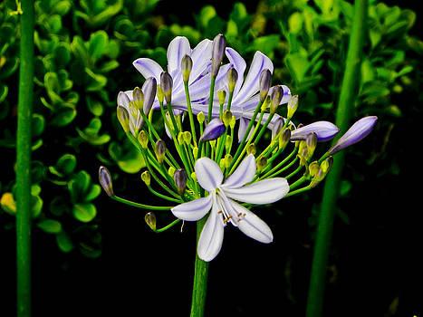 Blooming in blue by Jesus Nicolas Castanon