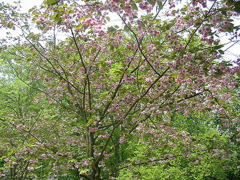 Blooming Japanese Cherry Tree 2 by Karin Vergnoux