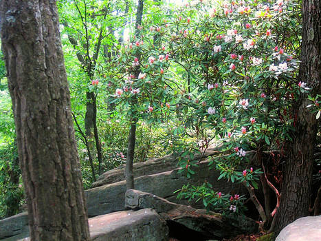 Darlene Bell - Blooming Mountain Laurel