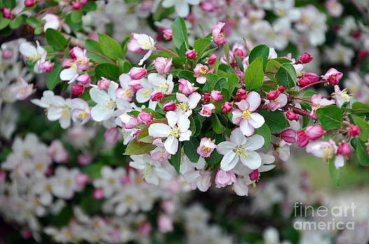 Blossoms on Blossoms by Dorrene BrownButterfield