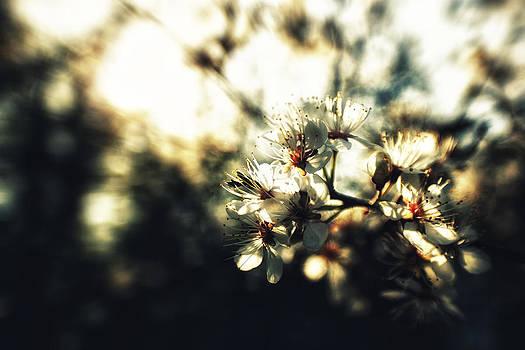 Blossoms by Stuart Deacon