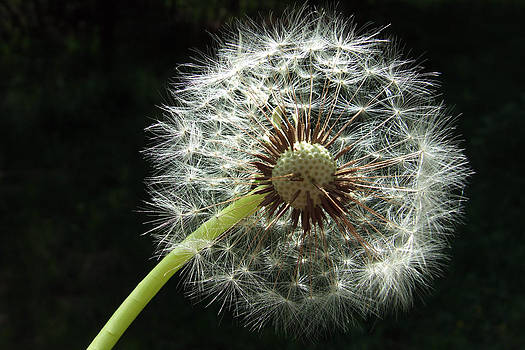 Blowball Dandelion with black background by Matthias Hauser