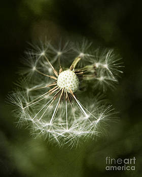 Blown Dandelion by Agnieszka Kubica