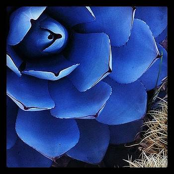 Blue Agave by Felice Willat
