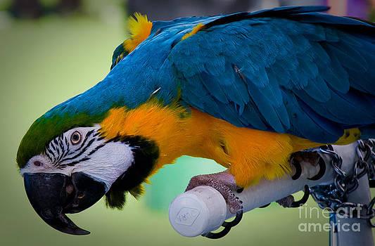 Blue Angel Parrot by Richie Cabaluna