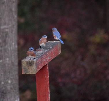 Blue Birds by George Miller