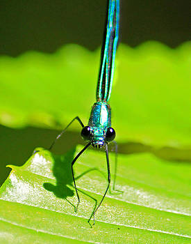 Blue Damselfly Front View by Cathy Leite Photography