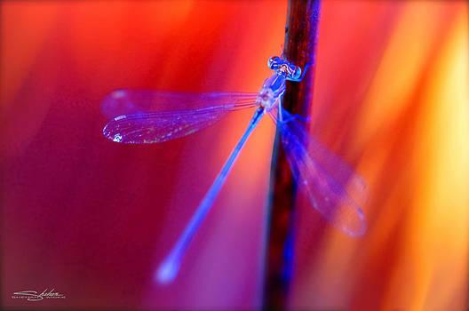 Blue Dragon Fly by Shehan Wicks