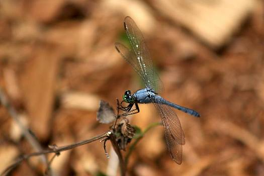 Blue Dragonfly by Tena Totaro