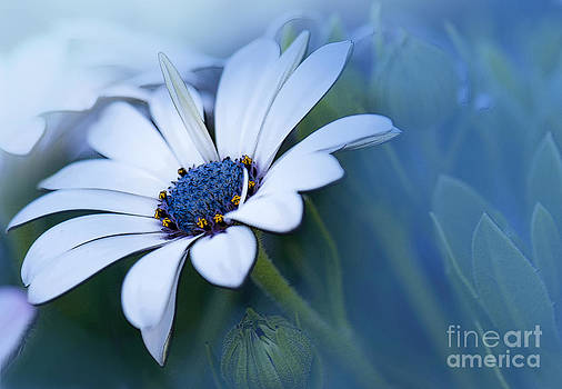 Blue Eyed African Daisy by Betty LaRue