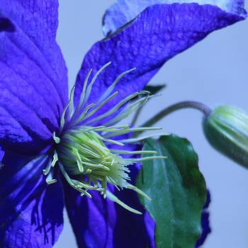 Donna Corless - Blue Flower