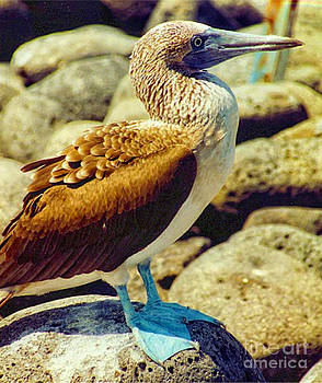 Diana Cox - Blue-footed Booby