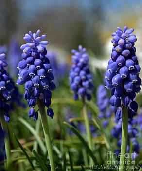 Blue Grape Hyacinths by Melissa Nickle