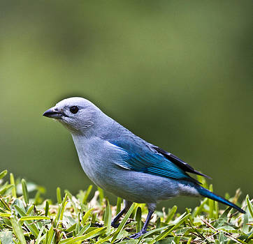 Heiko Koehrer-Wagner - Blue-Grey-Tanager