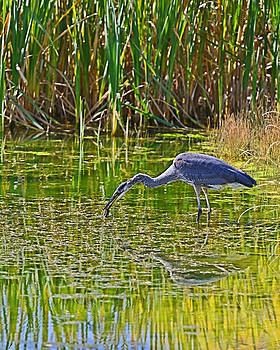 Blue Heron Eats Lunch2 by Edward Kovalsky