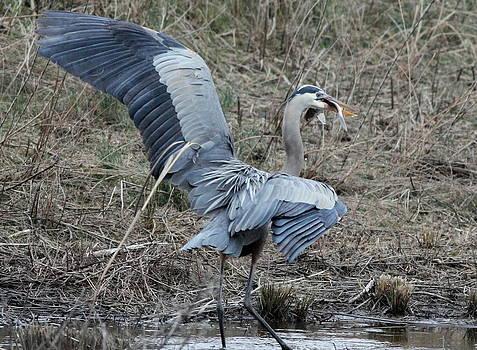 Blue Heron Fishing  by Glenn Lawrence