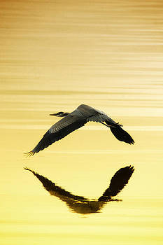 Blue Heron flies at Dusk by Steve Smith
