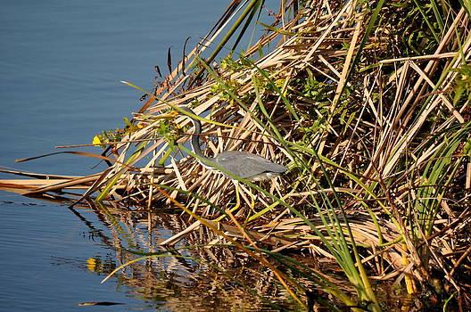 Blue Heron Hidden by Daniel Burnstein