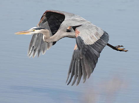 Blue Heron In Flight 1 by Glenn Lawrence