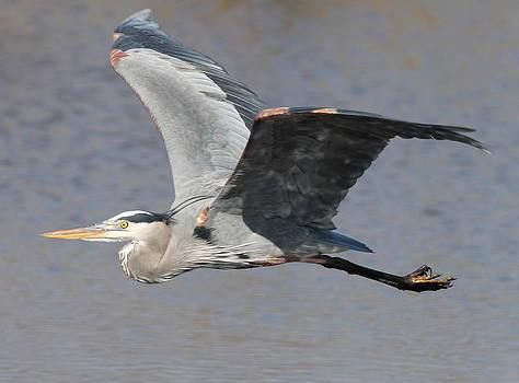 Blue Heron In Flight 2 by Glenn Lawrence