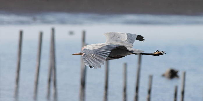 Blue Heron In Flight 5 by Glenn Lawrence