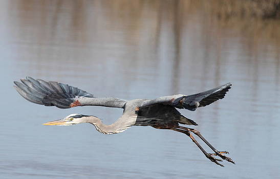 Blue Heron In Flight by Glenn Lawrence
