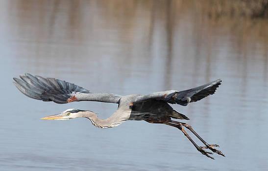 Blue Heron In Flight by Glenn Lawrence