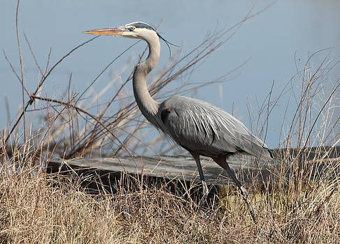 Blue Heron Profile  by Glenn Lawrence