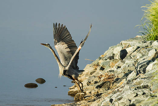 Blue Heron Stretch  by Glenn Lawrence